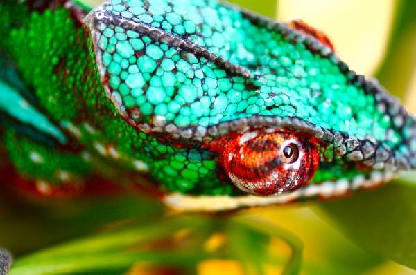 Ambilobe Panther Chameleon uploaded by kingsnake.com user  vinniem1210