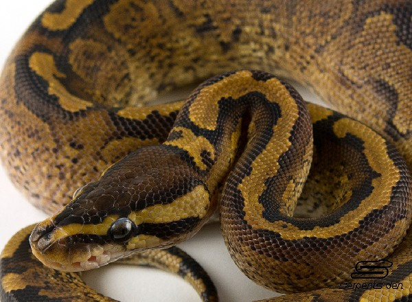 Ball Python, uploaded by kingsnake.com user Steve_Markevich