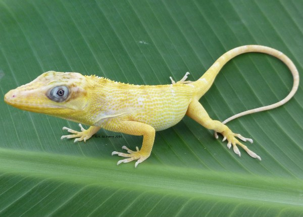 Albino Cuban Knight Anole