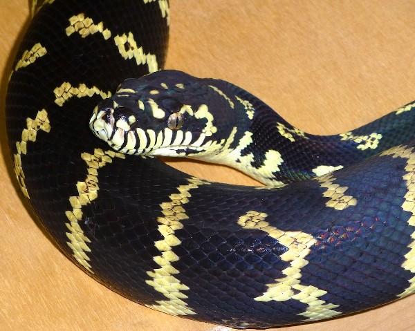 Coelen's Python, uploaded by kingsnake.com user JonathanH