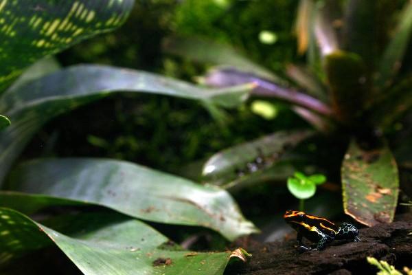 Oophaga ventrimaculatus
