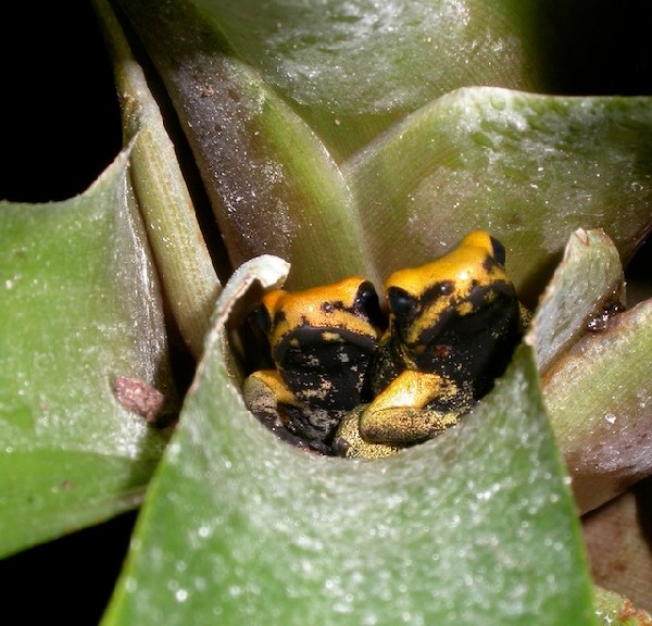 Golden Poison Frogs, uploaded by kingsnake.com user obeligz