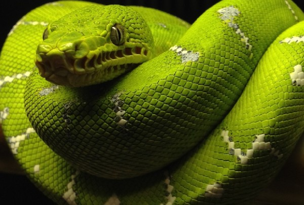 Emerald Tree Boa, uploaded by kingsnake.com user snakedawg81