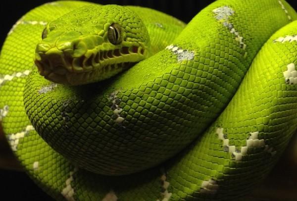Emerald Tree Boa, uploaded by kingsnake.com user snakedawg81