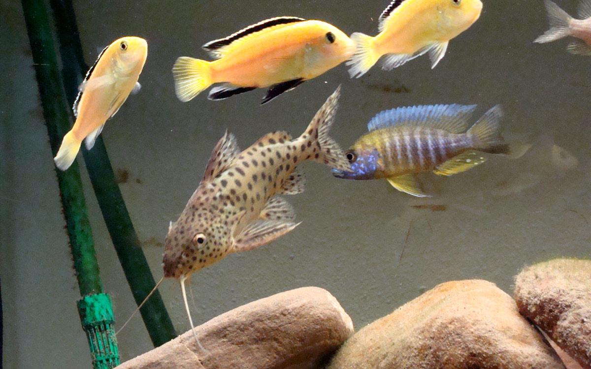 small cichlids lake malawi
