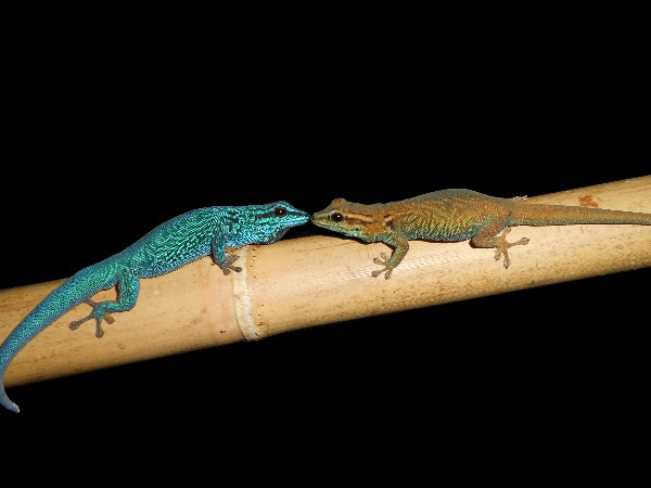 Pair of Lygodactylus williamsi
