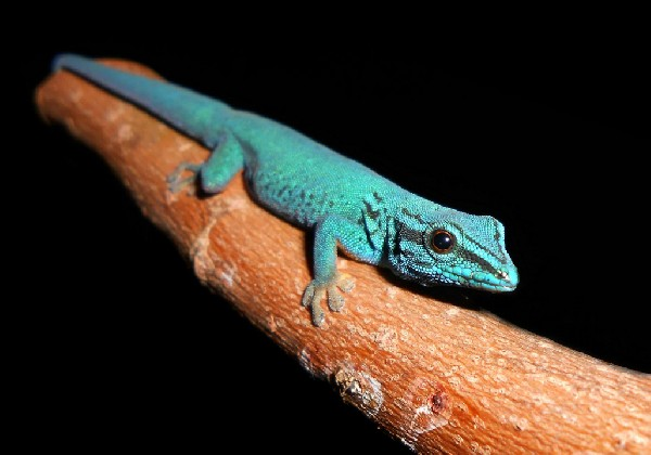 Electric Blue Dwarf Gecko, uploaded by kingsnake.com user jamesmatthews