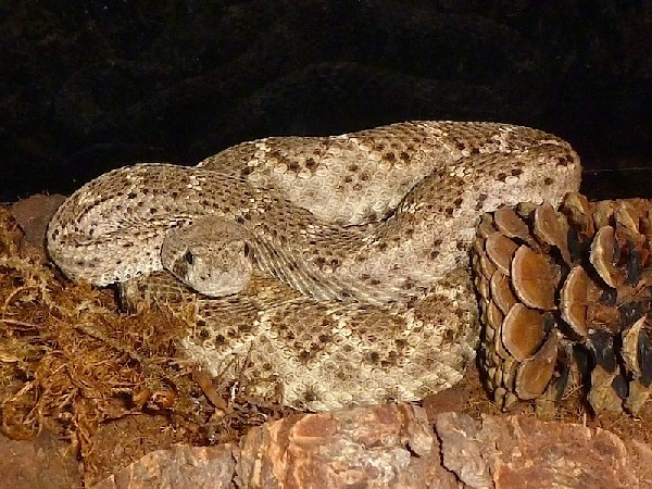 Western Diamondback Rattlesnake, uploaded by kingsnake.com user Vittorio_K