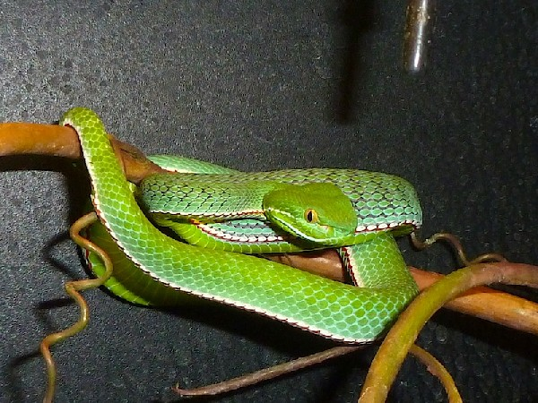Vogel's pit viper, uploaded by kingsnake.com user Vittorio_K