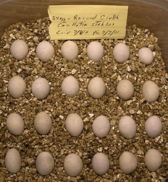 stehlini eggs
