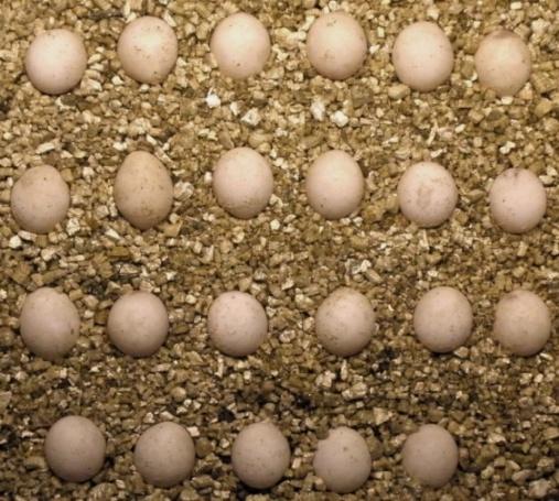 G stehlini eggs