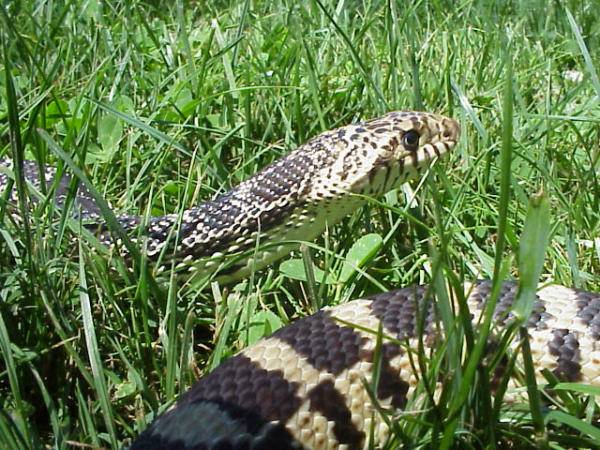 Bull Snake, uploaded by kingsnake.com user Leee