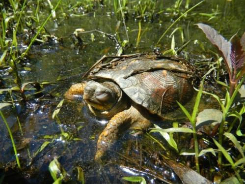 Wild Eastern Box Turtle Dozing in the Sun