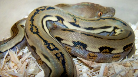 Reticulated Python, uploaded by kingsnake.com user marksherps