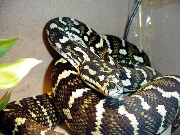 Photo: Morelia Python - bmorezx3