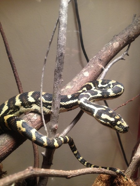 Carpet Python, uploaded by kingsnake.com user chuckn16