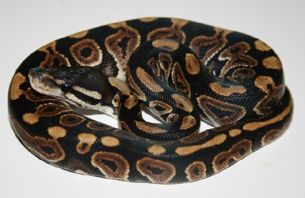 Ball Python, uploaded by kingsnake.com user m_mcmurtray