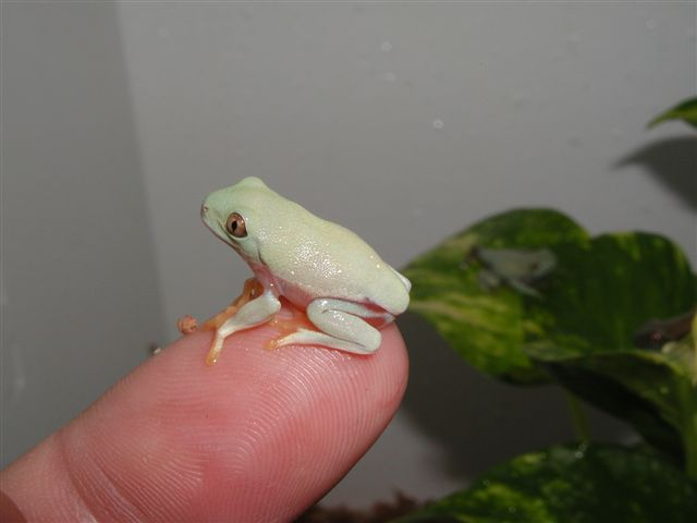 Froglets Gallery for froglets