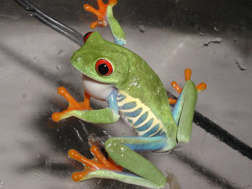 Red-Eyed Tree Frog, uploaded by kingsnake.com user doc1975