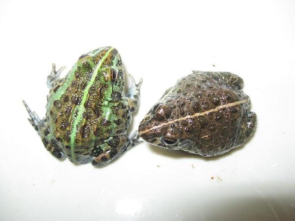 Pixie Frogs