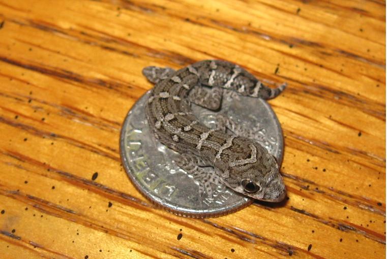 Hatchling Viper Gecko on Dime