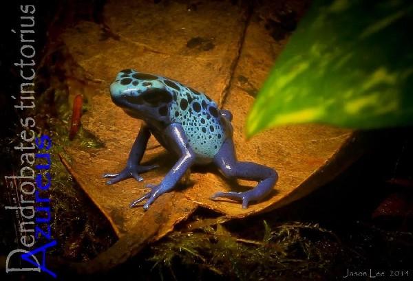Dendrobates Azures Froglet