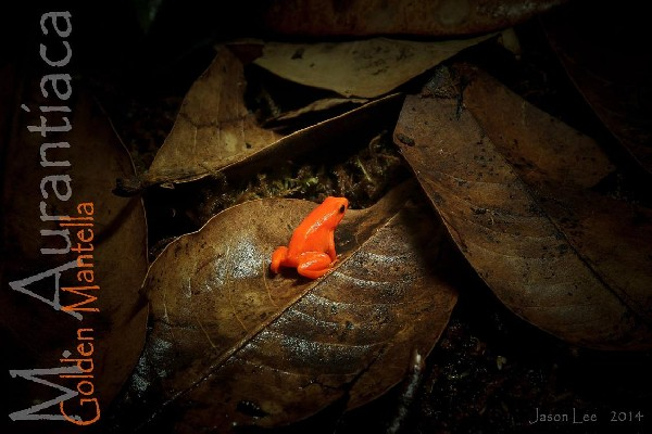 Mantella aurantiaca (Golden Mantella)
