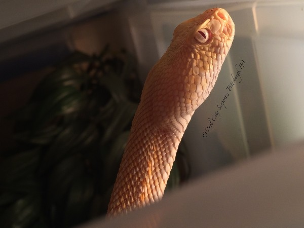 Albino Atrox, uploaded by kingsnake.com user scserpents