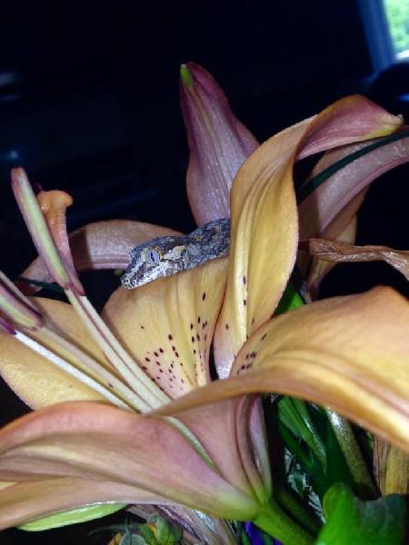Baby Gargoyle Gecko, uploaded by kingsnake.com user Madisyn74