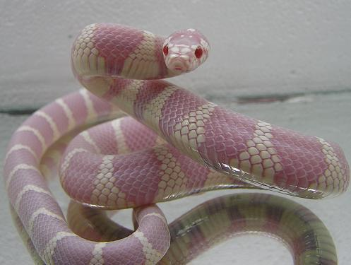 Kingsnake, uploaded by kingsnake.com user rmsnakejunkies