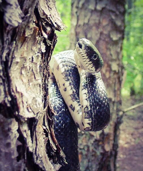 <br /> Black Rat Snake, uploaded by kingsnake.com user peaceodarock