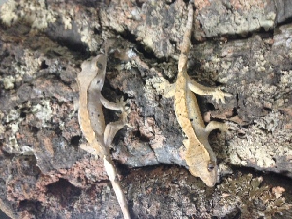 BABY CRESTED GECKOS