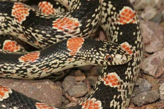 Photo: Longnose Snake