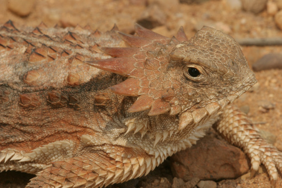 Photo: regal horned lizard