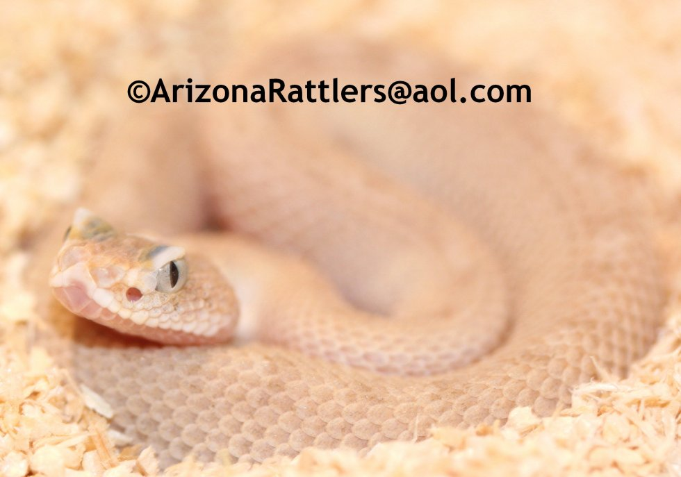 Sidewinder Rattlesnake Leucist