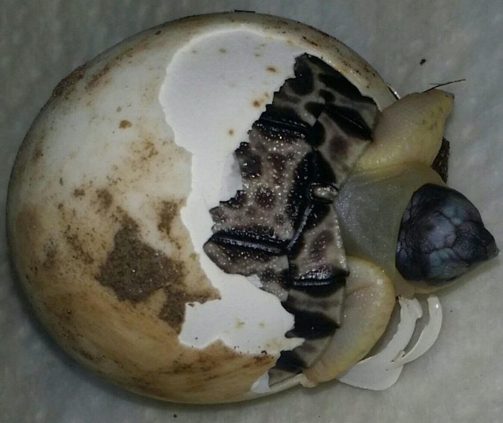 radiated tortoise hatching