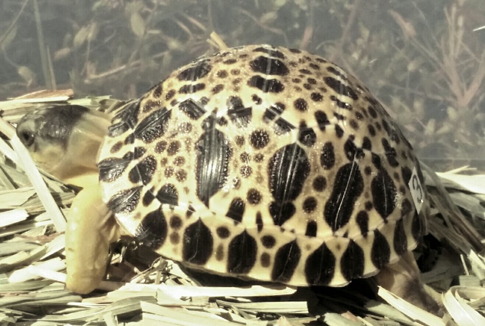magnificent radiated tortoise