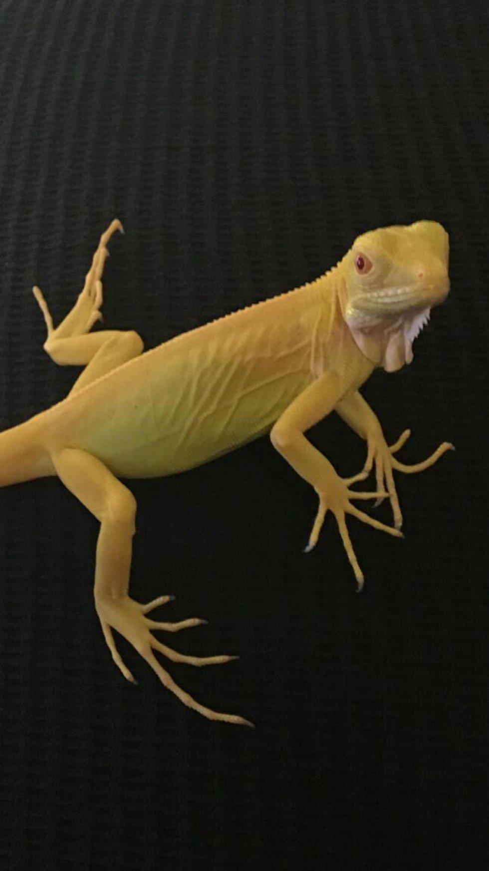 Baby Albino Iguana