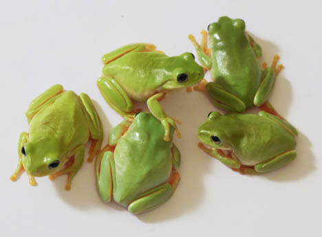 young Aussie White's tree frogs
