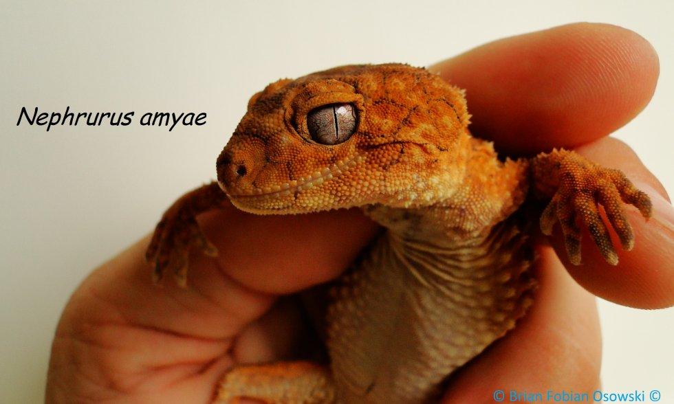 Nephrurus amyae