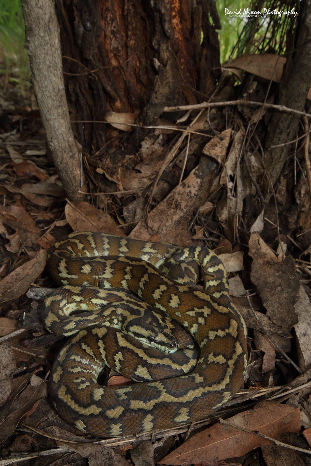Papuan Carpet Python, Morelia spilota