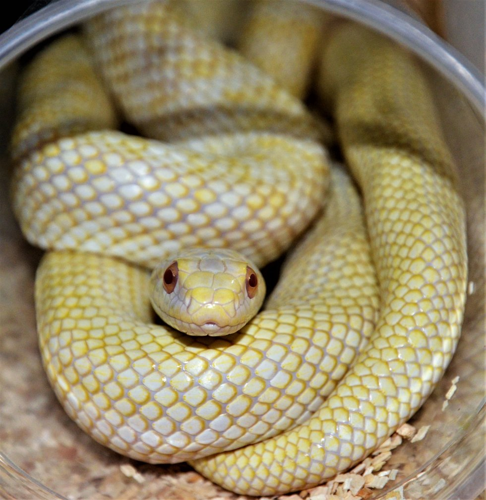Japanese Rat Snake Female