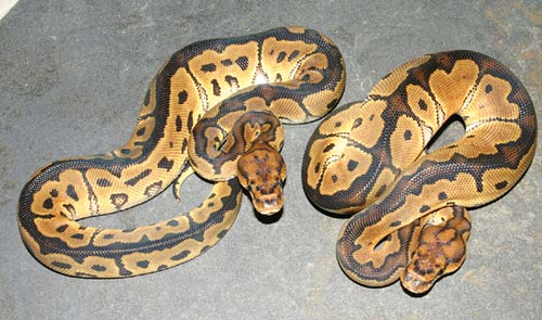 CLOWN BALL PYTHONS