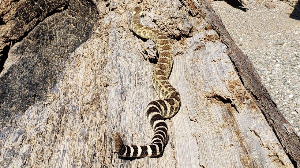 June 2019 SW OR Western Rattlesnake