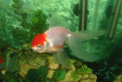 Redcap Oranda, Courtesy of Connie1