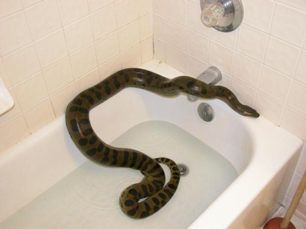 Anaconda in the Bathtub?
