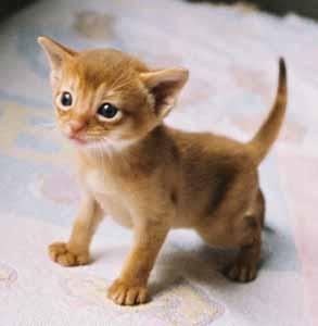 أنواع القطط الأليفة  22973redmale