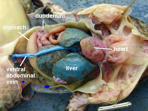 kingsnake.comphoto gallery > Amphibians > Frog internal organs