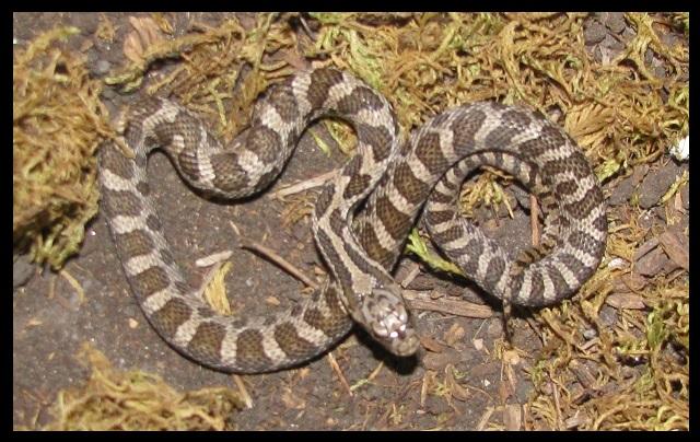 2019 Male Fox snake FS1b