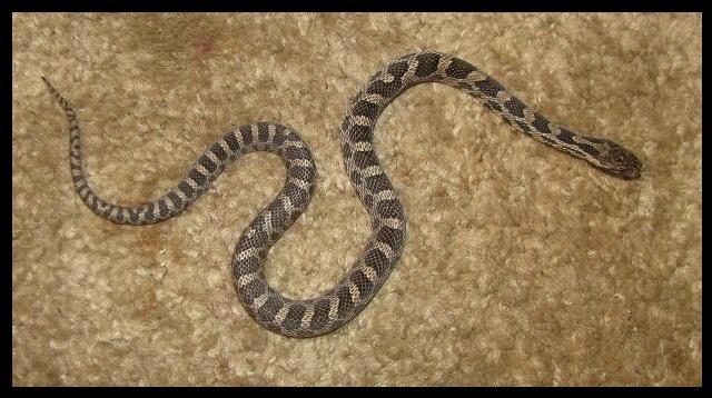 2019 Male Fox snake FS3c